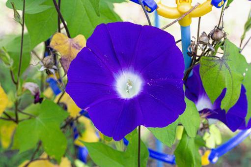 Beautifully blooming Asagao