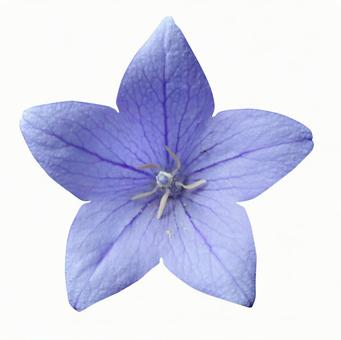 Clipping material bellflower