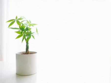 窗邊的觀賞植物(Pachira)