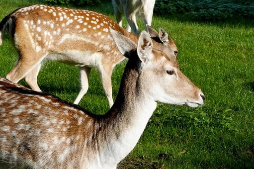 Profile of female deer up UK