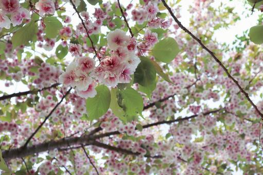 만개 한 벚꽃 나무