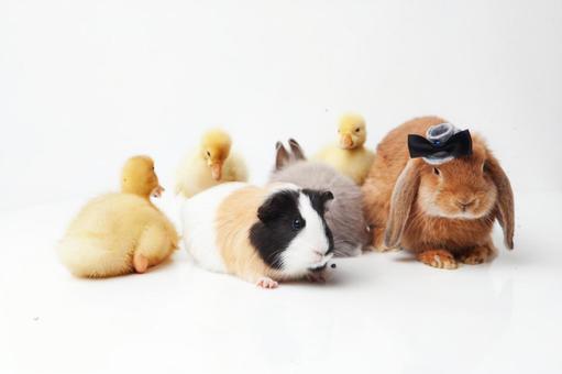 兔子和鸭子和豚鼠2