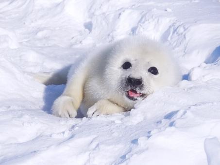 笑顔のタテゴトアザラシの赤ちゃん