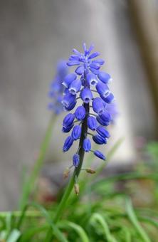 봄 꽃 무스카리