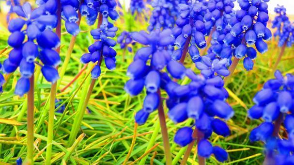 3 월 중순 무스리카 꽃