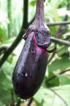 Eggplant # 7