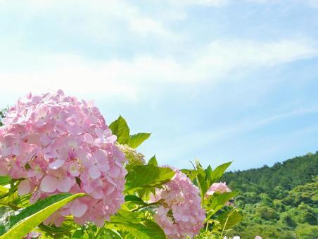 Hydrangea blue sky and hydrangea