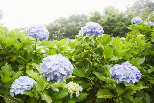 Blue hydrangea in gentle light Mamenbara Plateau