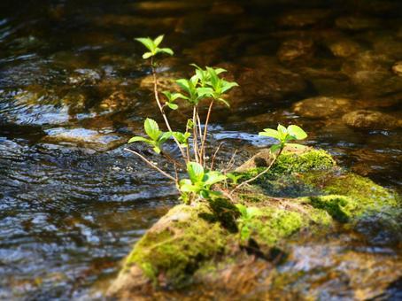 Waterside hydrangea