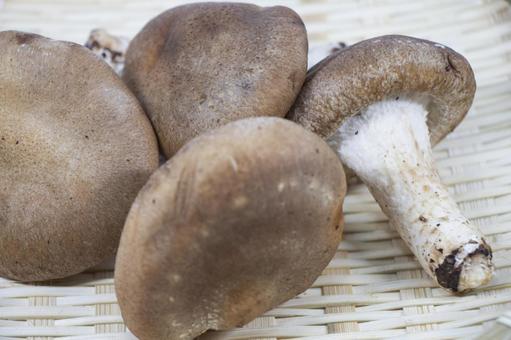 모토 표고 버섯