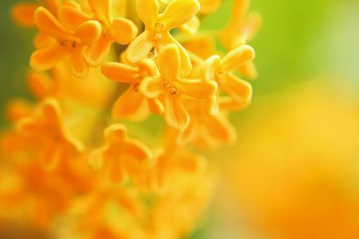 Kanagi 犀 Kinmokusei Golden flower