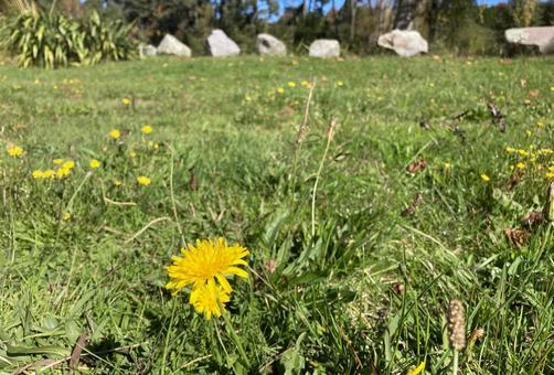 Dandelions that herald spring