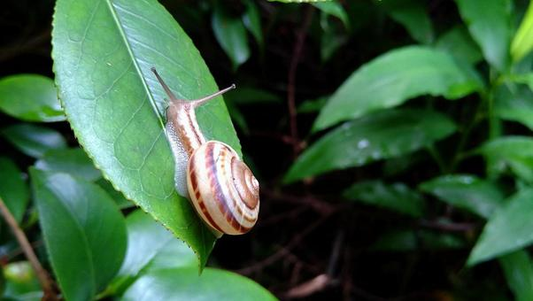 Snail crawling on camellia leaves