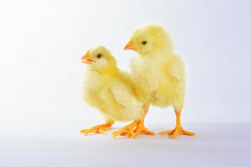 白背小鸡2种鸟类7