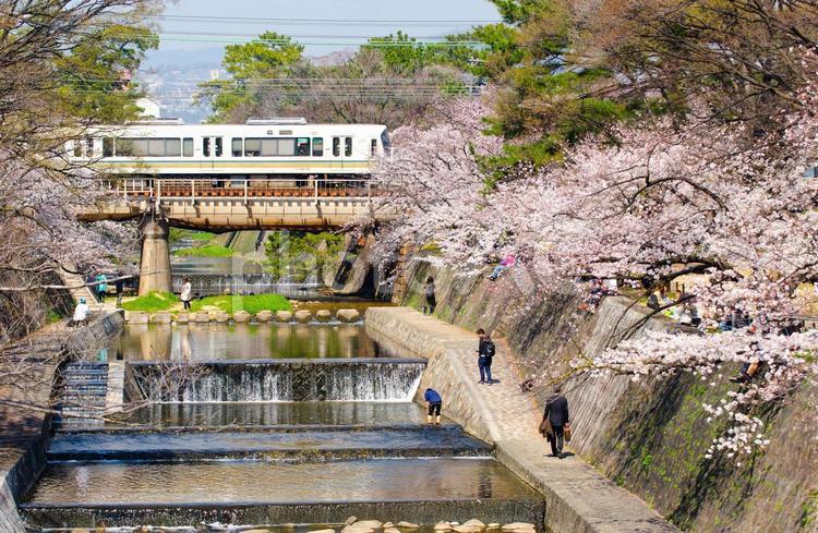 夙川公園の桜並木の写真