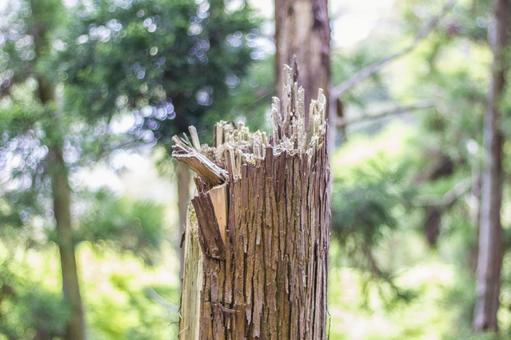 へし折ら 된 삼나무 2