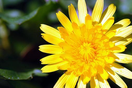 민들레 꽃의 클로즈업