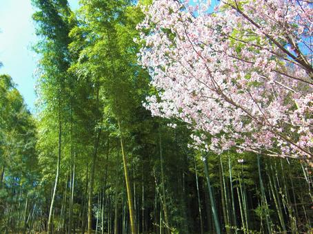 Bamboo grove and cherry blossoms in Arashiyama, Kyoto