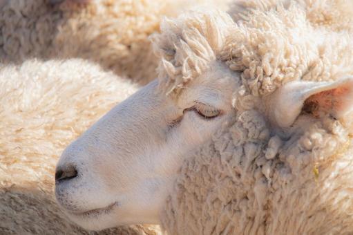 Dazzling sheep