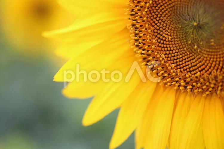 ヒマワリ 向日葵 黄色い花の写真