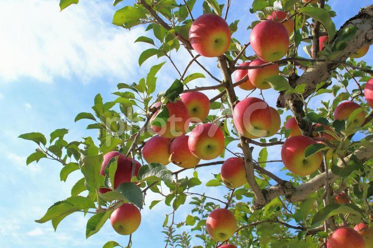りんごの木 7の写真