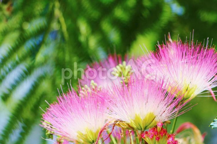 ねむの木の花 合歓木の写真