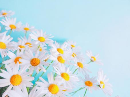 귀여운 마가렛 꽃 (4 : 3 버전)