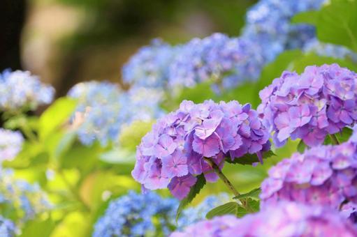 本和花繡球花