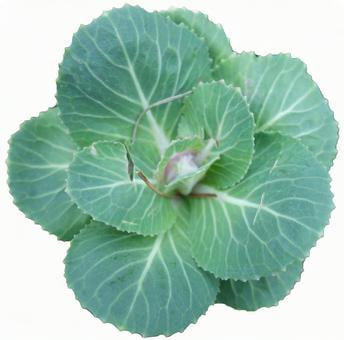 冬の緑の葉牡丹(PSDあり)