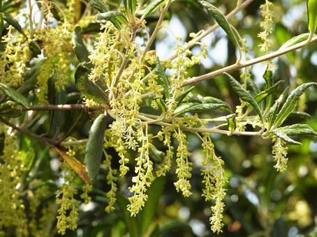 찌리멘가시 꽃