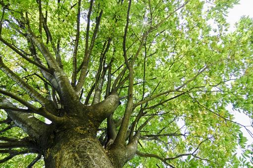 Zelkova trees