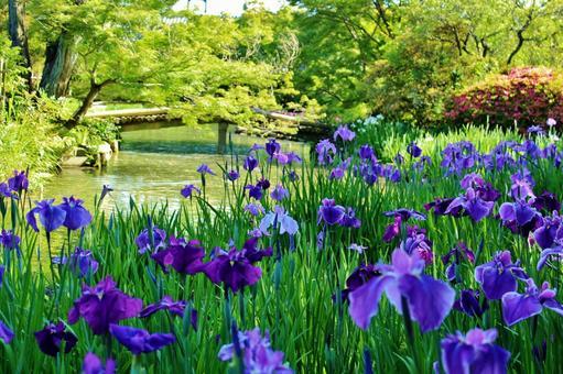 京都庭園裡盛開的鳶尾花