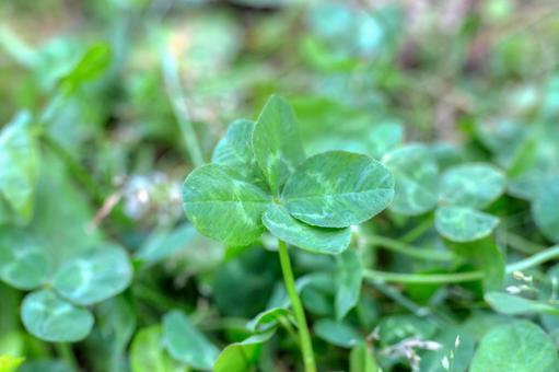 5 개의 잎 클로버