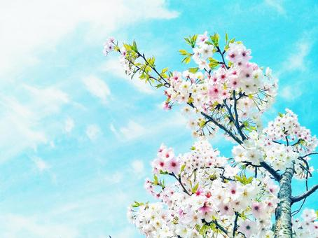Spring cherry blossoms and sky congratulations image background texture
