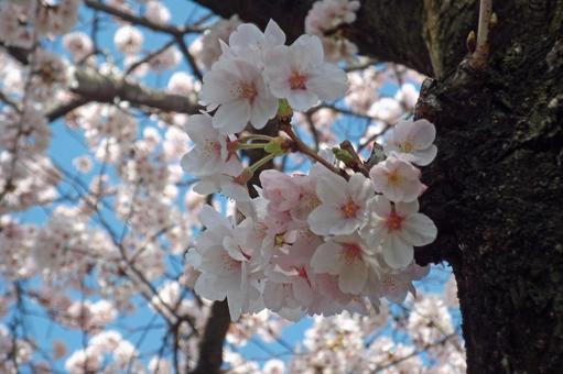 """在金原原周围散步·春天""""樱花""""#28"""