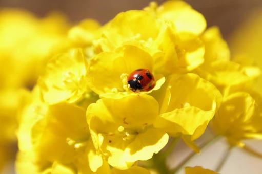 유채 꽃과 무당 벌레