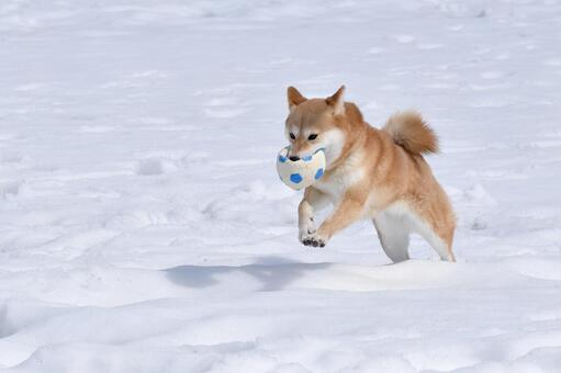 Shiba Inu, Snow, Ball Play