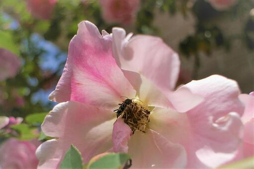 盛開結束時來到玫瑰的鳥上明里