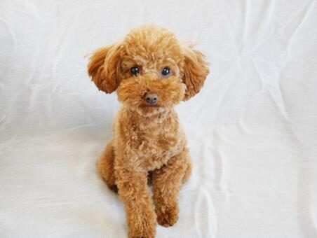 Toy poodle whole body
