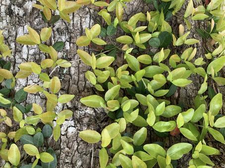 마삭줄 잎