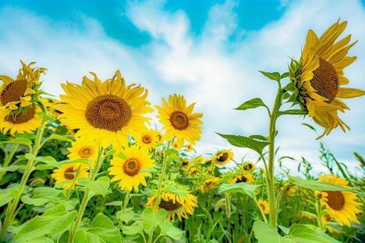 Pale sunflowers looking up (No. 19) Search word / sunflower creator name / YUTO @ PHOTOGRAPHER