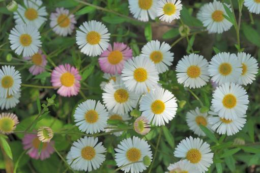 """Background of """"Erigeron"""" that changes color from white to pink"""