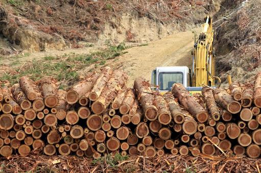 삼나무 벌채 작업