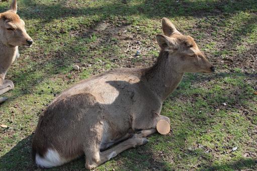 Deer sleeping in Nara Park