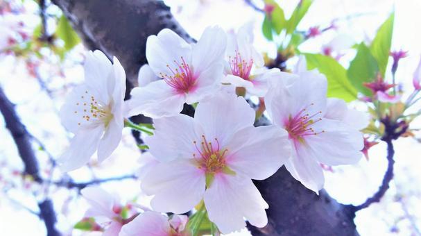 벚꽃 -5