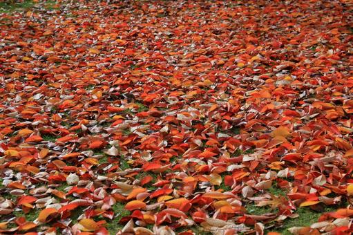 Carpet of bright red fallen leaves Cherry tree