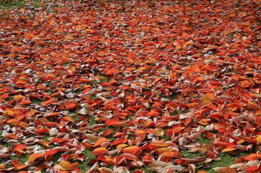 빨간 낙엽의 융단 벚꽃 나무