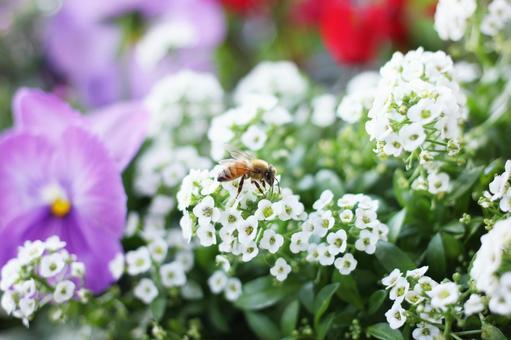 蜜蜂和花(甜蜜的alsass)