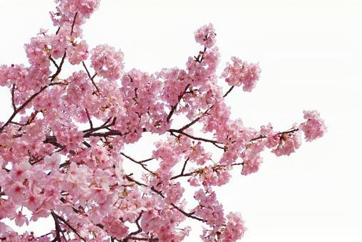 Sakura Kirinuki (psd background transparent)