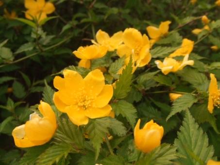 야마 부키 꽃